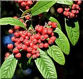 J3471 : Cotoneaster berries, Stranmillis, Belfast - October 2015(2) by Albert Bridge