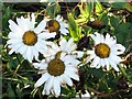 NZ1367 : Oxeye Daisies at season's end by Andrew Curtis