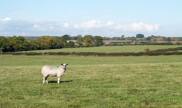 Sheep in field north of Burtree Lane