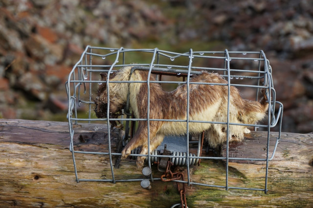 Stoat trap with dead Stoat at Black Gut