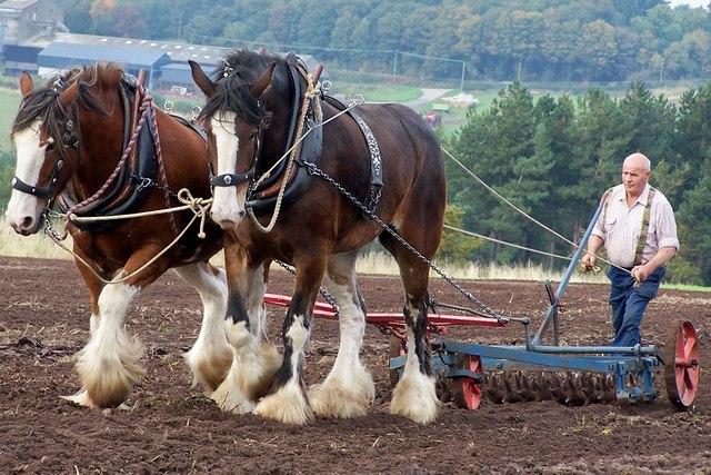 Shires at Hay Farm, Northumberland
