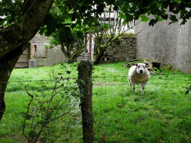 Curious sheep, Bracky