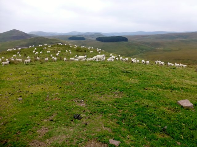 Grazing Sheep At Priest' s Field
