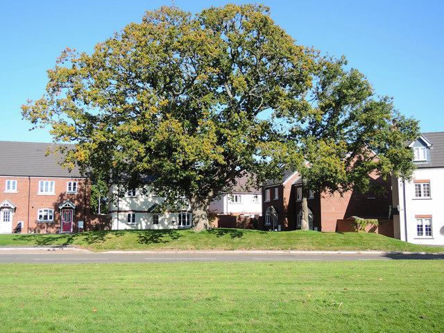 Cullompton: Oak tree