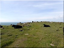 SW6713 : Cattle on Kynance Cliff by David Smith