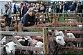 NY1808 : Sheep at the Wasdale Head Show by Philip Halling
