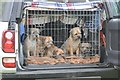 NY1808 : Border terriers at Wasdale Head Show by Philip Halling