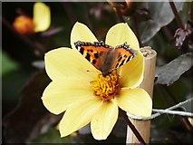SS6140 : Small Tortoiseshell butterfly at Arlington Court gardens by Derek Voller