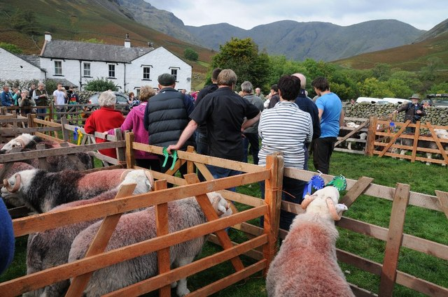 Herdwick sheep at the Wasdale Head Show