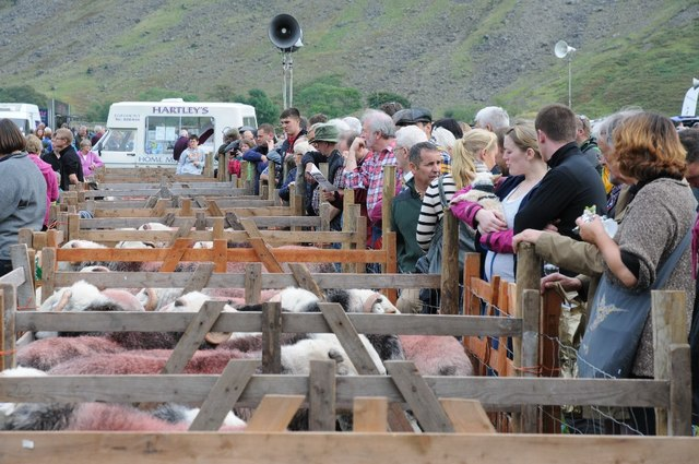 Pens of herdwick sheep at the Wasdale Head Show