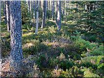 NH6661 : The floor of the Millbuie Forest by Julian Paren