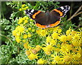 SM9041 : Red Admiral on Ragwort by Rudi Winter