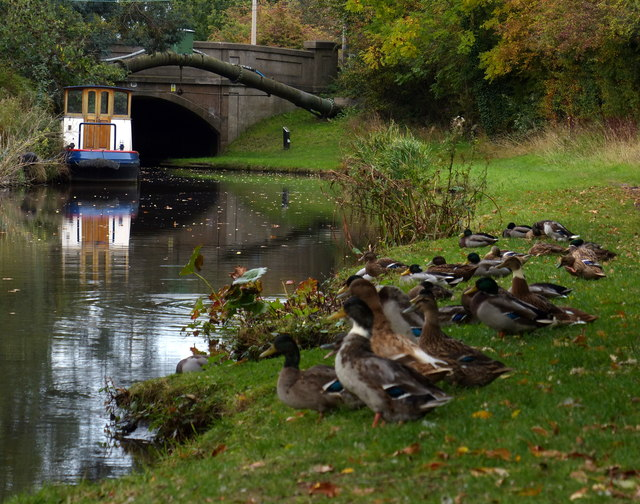 Ducks along the Coventry Canal