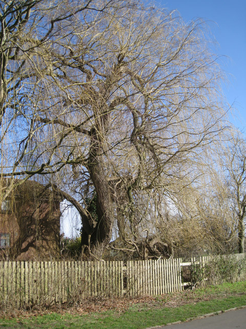 Weeping willow in the process of collapse, rear of William Tarver Close, Warwick