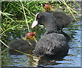 SJ8358 : Coot with chick on moat at Little Moreton Hall by Linden Milner