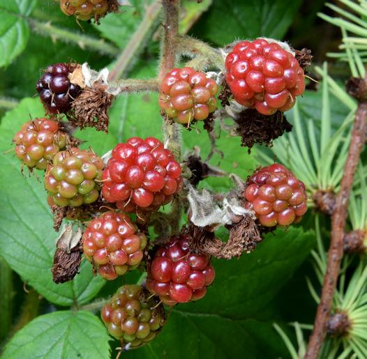 Blackberries, Glenlyon, Holywood - October 2015(1)