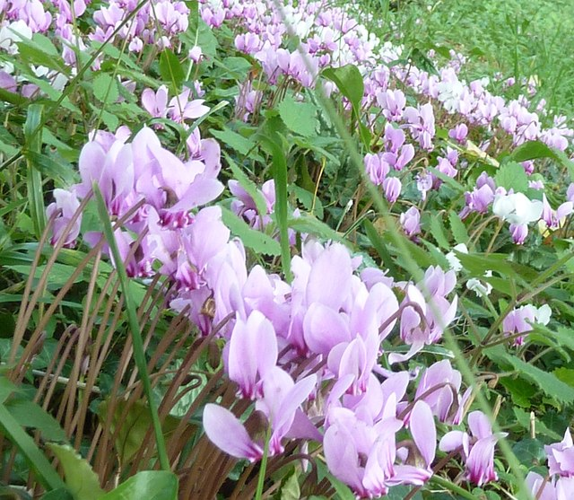 Painswick Rococo Gardens - Cyclamen