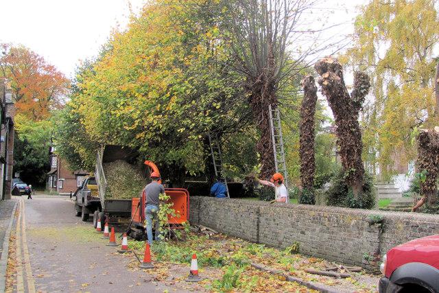 Pollarding the Churchyard Trees at Tring (1)