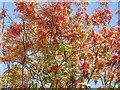 NT2470 : Rowan berries, Morningside by M J Richardson