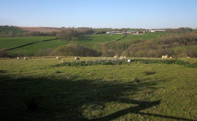 Sheep above Catham Lake