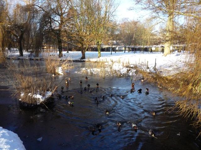 Ducks near Langwith