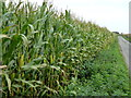 TF3804 : Maize alongside Folly's Drove near Guyhirn by Richard Humphrey