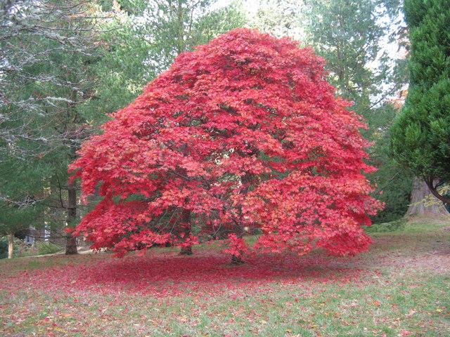 Autumn Sycamore at Dawyck Botanic Garden