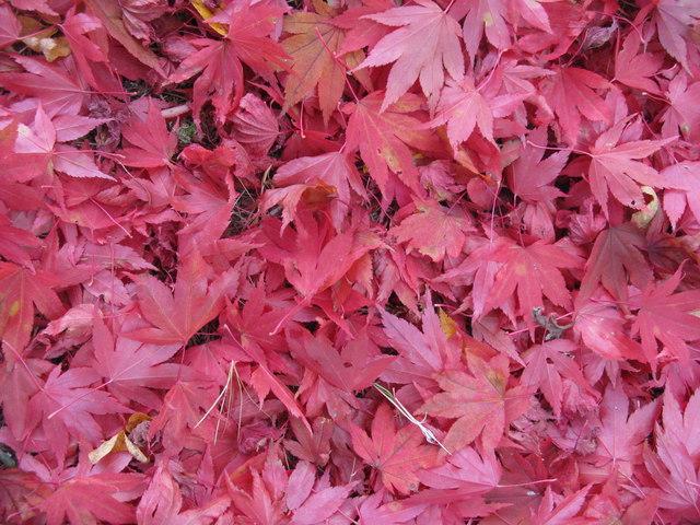 Autumn carpet at Dawyck