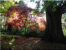 H4963 : Back-lit tree, Seskinore Forest by Kenneth  Allen