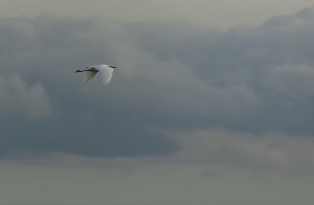 A Little Egret