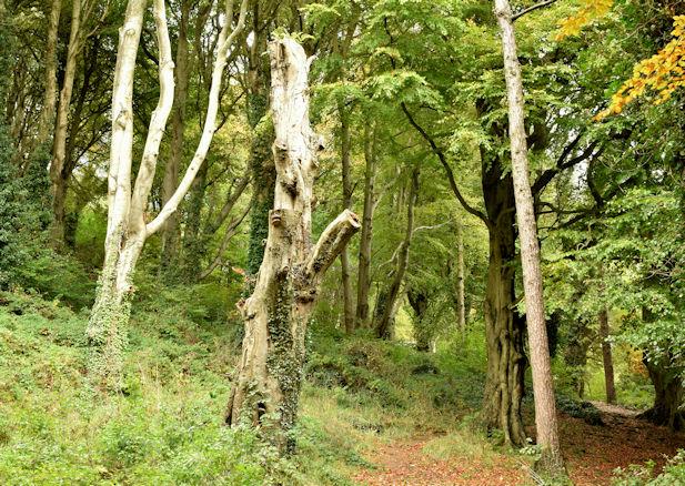 Dead tree, Killynether, Newtownards (October 2015)