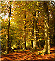 SU6474 : Beech wood in autumn, Sulham, Berkshire by Oswald Bertram