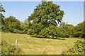 TQ5443 : Oak tree south of Ashour Wood by N Chadwick