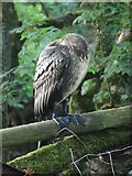 SD9771 : Young cormorant sleeping on a fence by Graham Robson