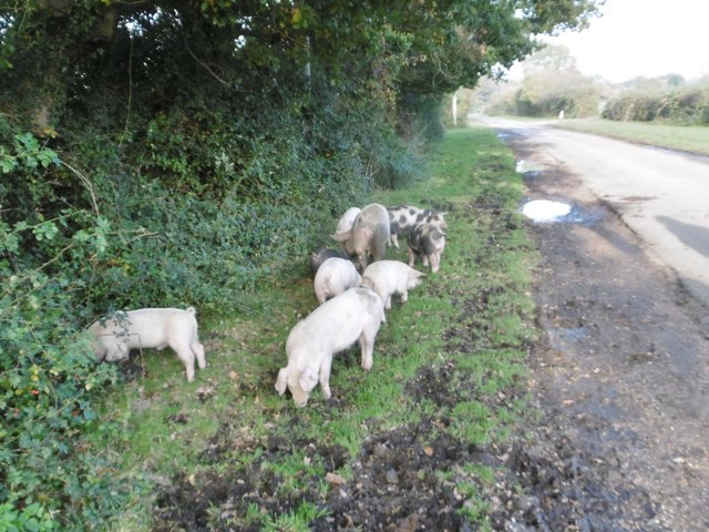 South Gorley, pannage pigs 2)