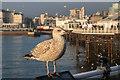 TQ3103 : Young Herring Gull on Brighton Pier, Brighton, East Sussex by Christine Matthews
