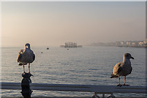 TQ3103 : Two Young Herring Gulls, Brighton Pier, Brighton, East Sussex by Christine Matthews