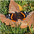 NT4936 : A late Red Admiral butterfly by Walter Baxter