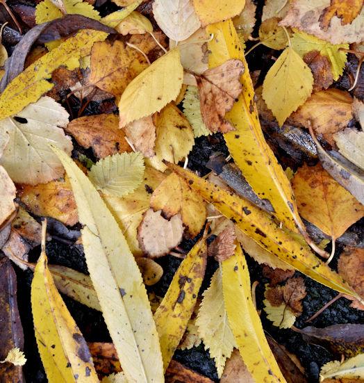 Autumn leaves, Comber Greenway, Belfast - November 2015(3)