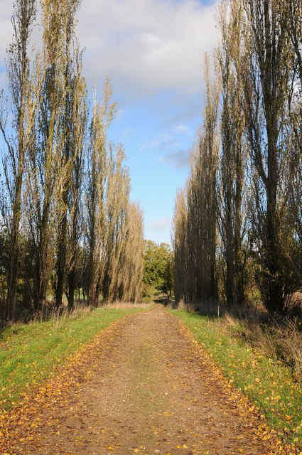 Avenue of poplar trees