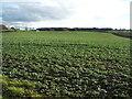 NZ1520 : Crop field west of Ingleton by JThomas