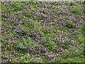 ST3635 : Ground ivy, Westonzoyland airfield by Derek Harper