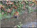 NT2440 : Dipper [Cinclus cinclus] by the River Tweed by M J Richardson