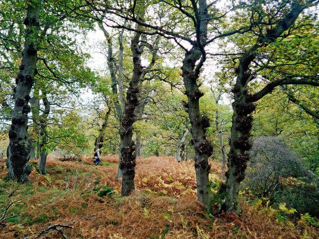Walking through Drummondreach Oak Wood