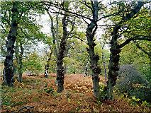 NH5857 : Walking through Drummondreach Oak Wood by Julian Paren