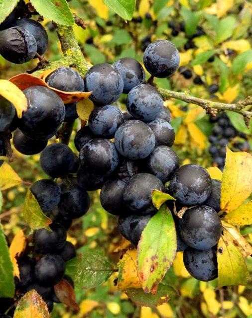 Sloes on a blackthorn shrub