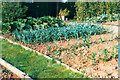SX9066 : Leeks on the allotment by John C
