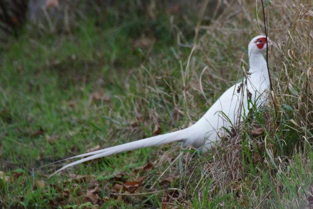 White Pheasant (Phasianus colchicus), Diglake, Scarisbrick