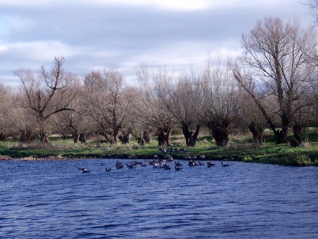 Geese and pollarded trees by the River Soar