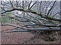 TL4703 : Two fallen trees, Wintry Wood, Epping by Roger Jones
